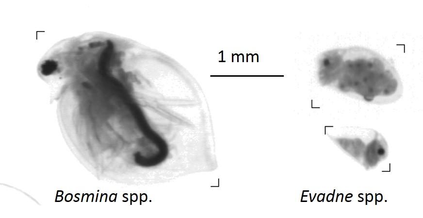 cladocerans