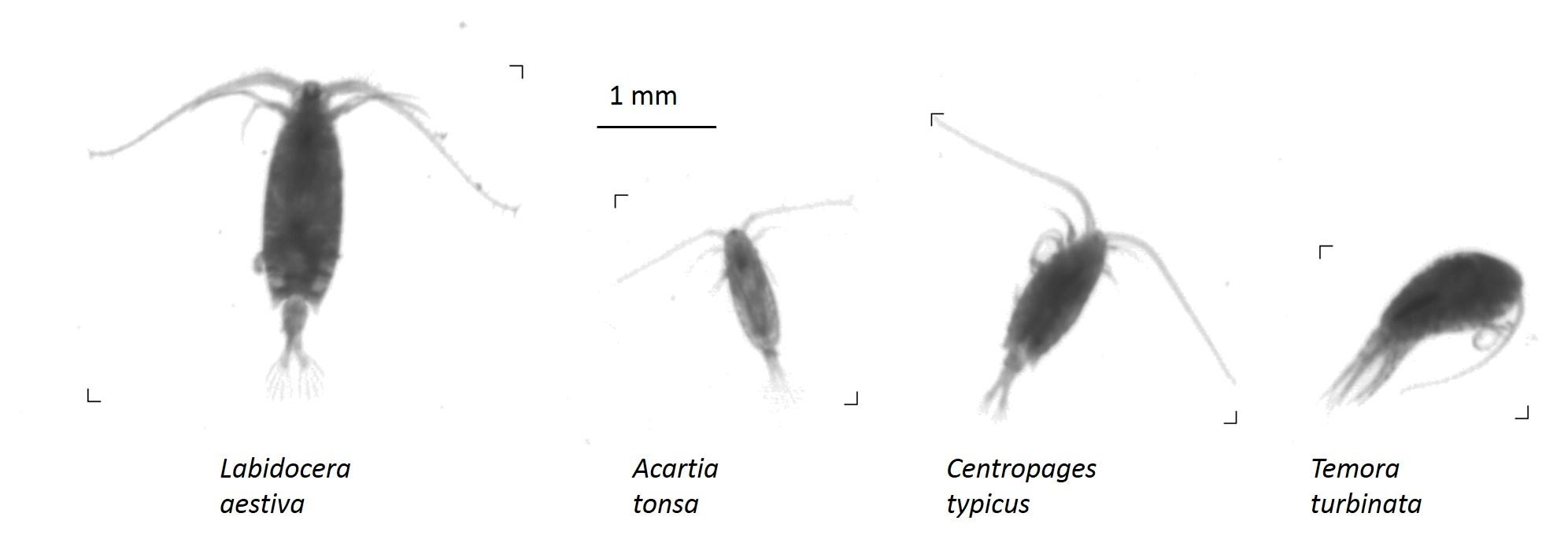 copopods