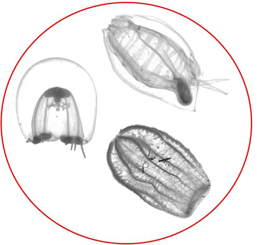 Jelly-like zooplankton under microscope