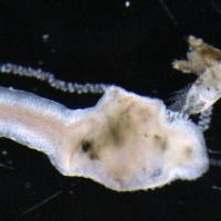 tentacle holding copepod at mouth.JPG
